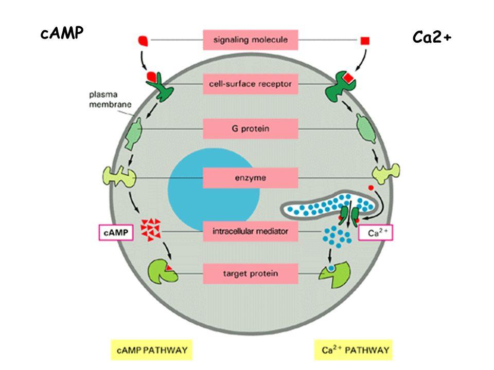 cAMP Ca2+