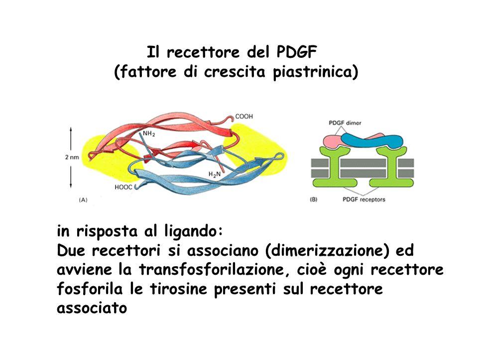 Il recettore del PDGF (fattore di crescita piastrinica) in risposta al ligando: Due recettori si associano (dimerizzazione) ed avviene la transfosfori