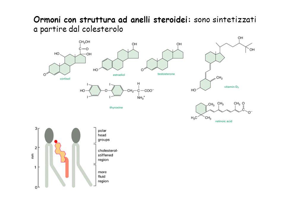 Ormoni con struttura ad anelli steroidei: sono sintetizzati a partire dal colesterolo