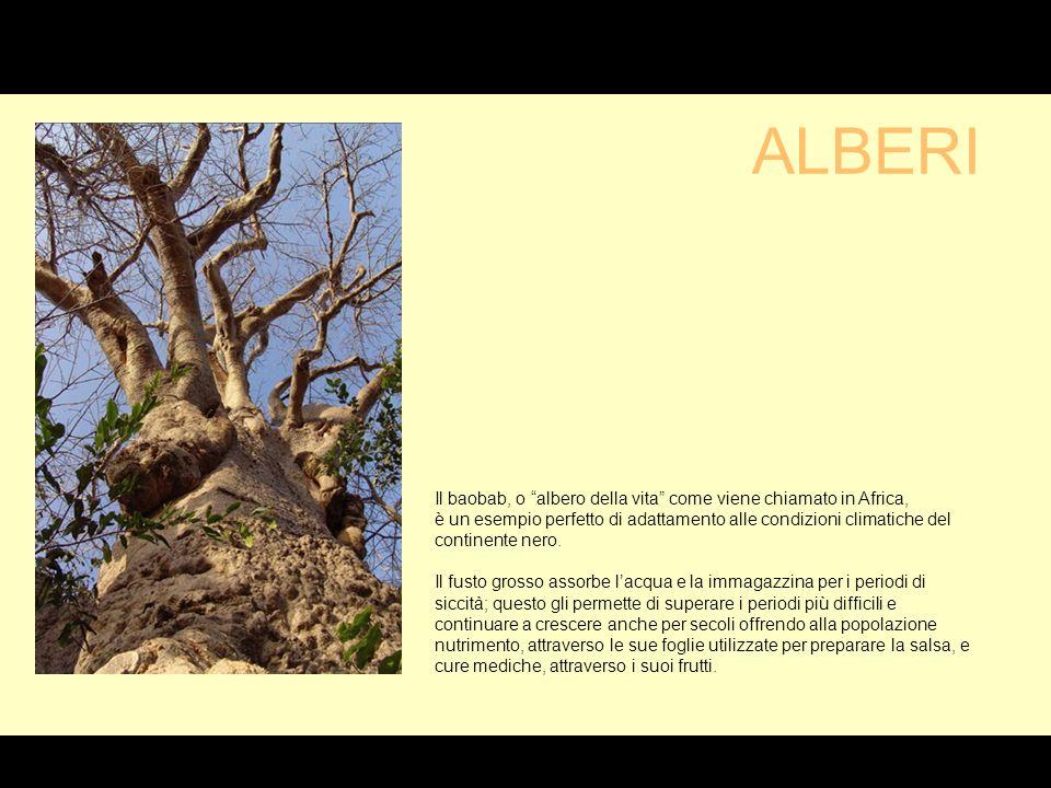G Il baobab, o albero della vita come viene chiamato in Africa, è un esempio perfetto di adattamento alle condizioni climatiche del continente nero.