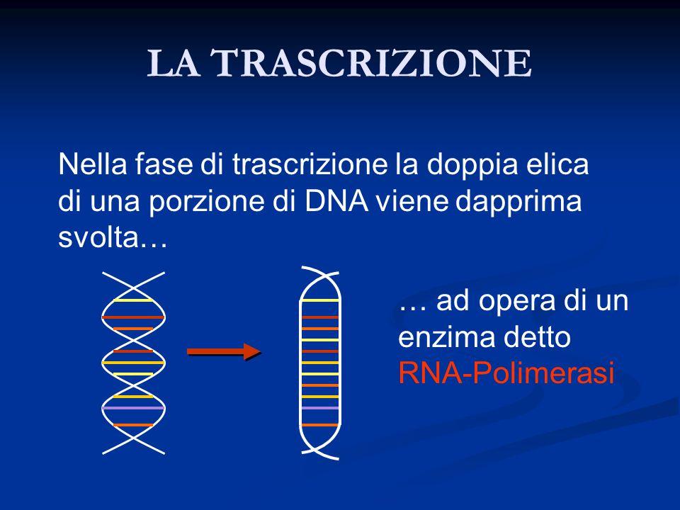 LA TRASCRIZIONE Nella fase di trascrizione la doppia elica di una porzione di DNA viene dapprima svolta… … ad opera di un enzima detto RNA-Polimerasi