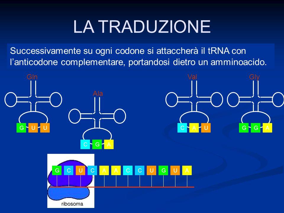 LA TRADUZIONE GCUCAACCUGUA CGA Ala UGU Gln AGG Gly UCA Val Successivamente su ogni codone si attaccherà il tRNA con lanticodone complementare, portand