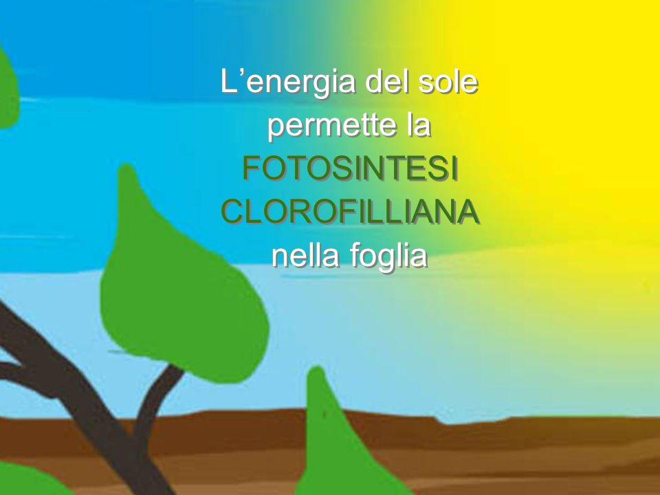 Lenergia del sole permette la FOTOSINTESI CLOROFILLIANA nella foglia Lenergia del sole permette la FOTOSINTESI CLOROFILLIANA nella foglia