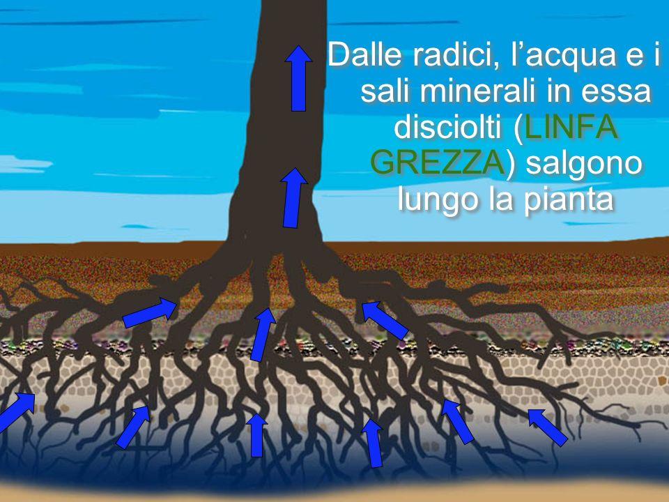 Dalle radici, lacqua e i sali minerali in essa disciolti (LINFA GREZZA) salgono lungo la pianta