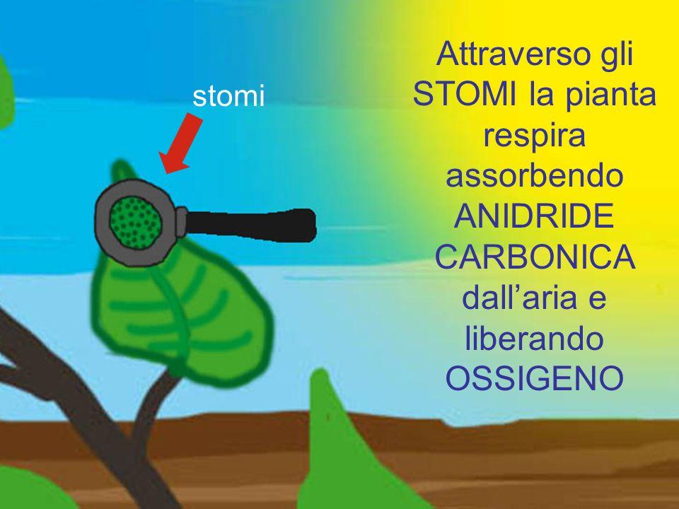 Attraverso gli STOMI la pianta respira assorbendo ANIDRIDE CARBONICA dallaria e liberando OSSIGENO stomi