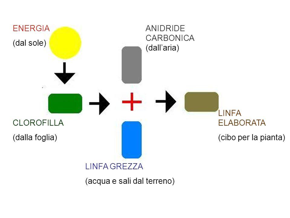 ENERGIA (dal sole) CLOROFILLA (dalla foglia) LINFA GREZZA (acqua e sali dal terreno) ANIDRIDE CARBONICA (dallaria) LINFA ELABORATA (cibo per la pianta