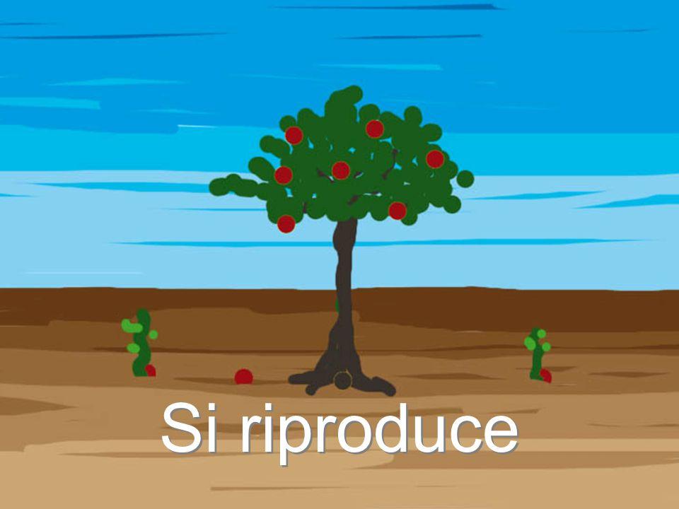 La CLOROFILLA con lenergia del sole trasforma la LINFA GREZZA e lANIDRIDE CARBONICA in LINFA ELABORATA, nutrimento della pianta