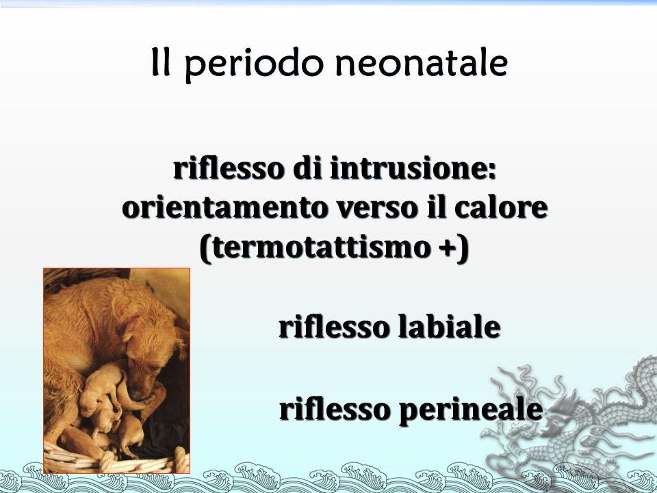 Il periodo neonatale riflesso di intrusione: orientamento verso il calore (termotattismo +) riflesso labiale riflesso labiale riflesso perineale rifle