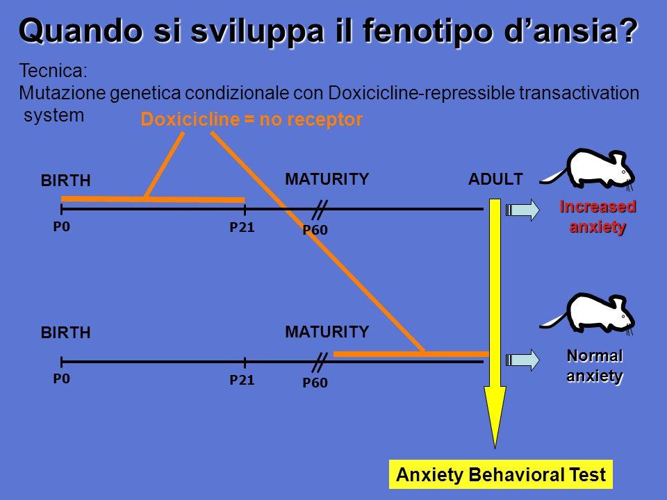 Quando si sviluppa il fenotipo dansia? Doxicicline = no receptor P0 P21 BIRTH MATURITY P60 Normal anxiety Tecnica: Mutazione genetica condizionale con