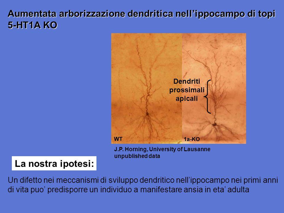 Dendriti prossimali apicali J.P. Horning, University of Lausanne unpublished data Aumentata arborizzazione dendritica nellippocampo di topi 5-HT1A KO