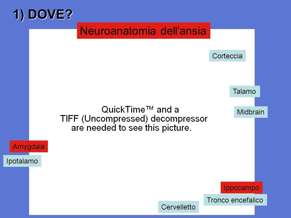 1) DOVE? Neuroanatomia dellansia Corteccia Talamo Midbrain Tronco encefalico Cervelletto Ipotalamo Ippocampo Amygdala