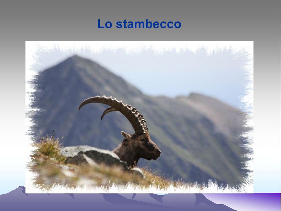 Stambecco - Capra ibex Regno: Animale Classe: Mammiferi Ordine: Artiodattili Famiglia: Bovidi Genere: Capra Specie: ibex