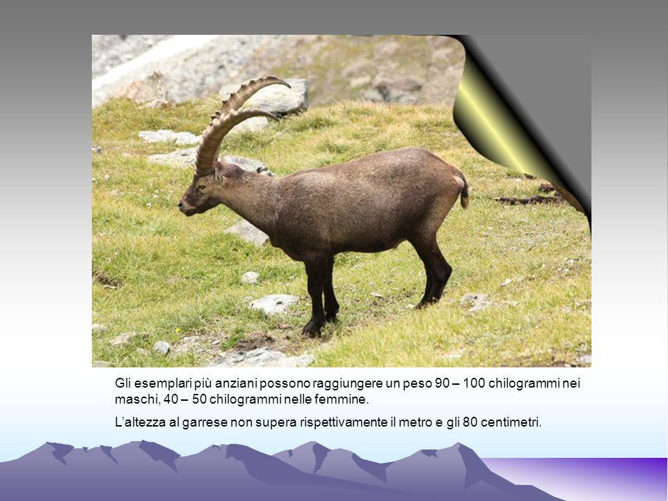 Gli esemplari più anziani possono raggiungere un peso 90 – 100 chilogrammi nei maschi, 40 – 50 chilogrammi nelle femmine. Laltezza al garrese non supe