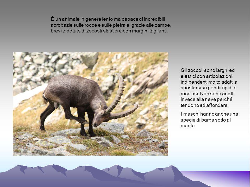 È un animale in genere lento ma capace di incredibili acrobazie sulle rocce e sulle pietraie, grazie alle zampe, brevi e dotate di zoccoli elastici e