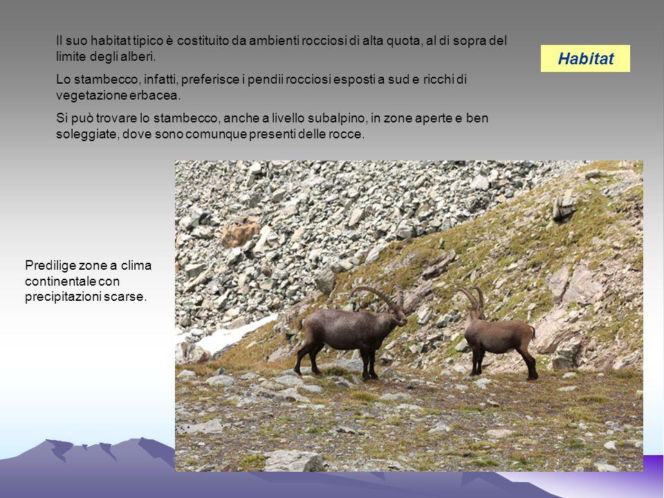 Il suo habitat tipico è costituito da ambienti rocciosi di alta quota, al di sopra del limite degli alberi. Lo stambecco, infatti, preferisce i pendii