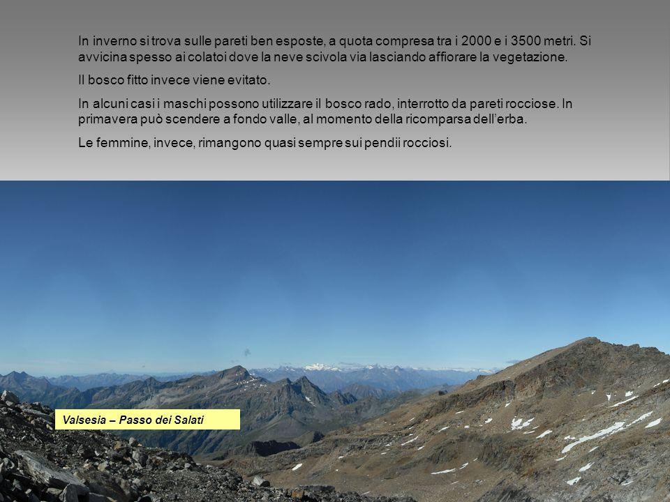 In inverno si trova sulle pareti ben esposte, a quota compresa tra i 2000 e i 3500 metri. Si avvicina spesso ai colatoi dove la neve scivola via lasci