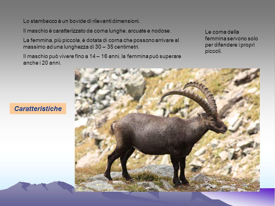 Lo stambecco è un bovide di rilevanti dimensioni. Il maschio è caratterizzato da corna lunghe, arcuate e nodose. La femmina, più piccola, è dotata di