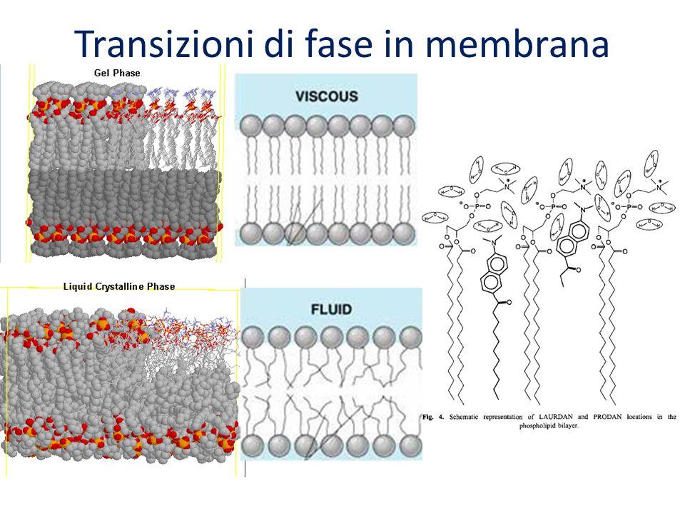 Transizioni di fase in membrana