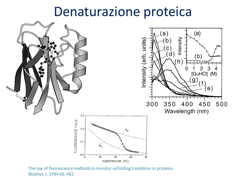 Denaturazione proteica The use of fluorescence methods to monitor unfolding transitions in proteins. Biophys. J. 1994 66: 482.