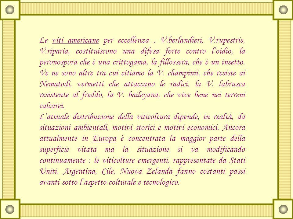 Le viti americane per eccellenza, V.berlandieri, V.rupestris, V.riparia, costituiscono una difesa forte contro loidio, la peronospora che è una critto