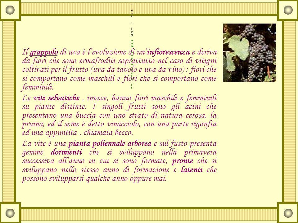 Il grappolo di uva è levoluzione di uninfiorescenza e deriva da fiori che sono ermafroditi soprattutto nel caso di vitigni coltivati per il frutto (uv