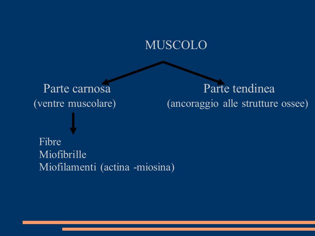 MUSCOLO Parte carnosa Parte tendinea (ventre muscolare) (ancoraggio alle strutture ossee) Fibre Miofibrille Miofilamenti (actina -miosina)
