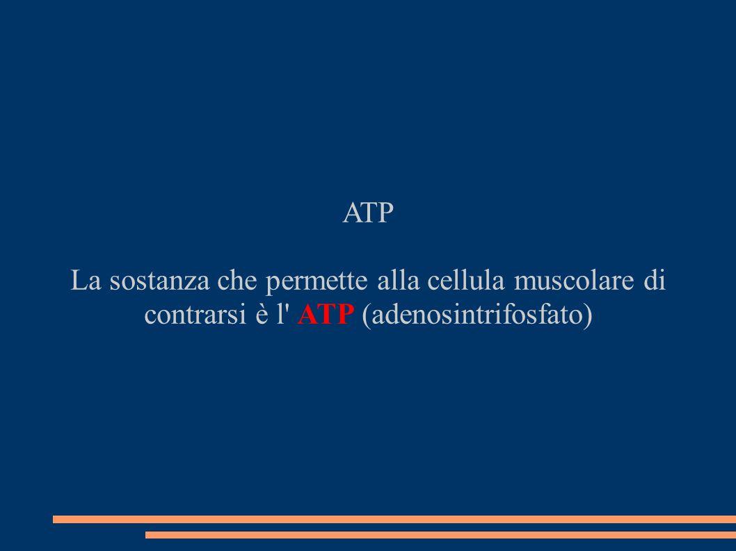 ATP La sostanza che permette alla cellula muscolare di contrarsi è l' ATP (adenosintrifosfato)