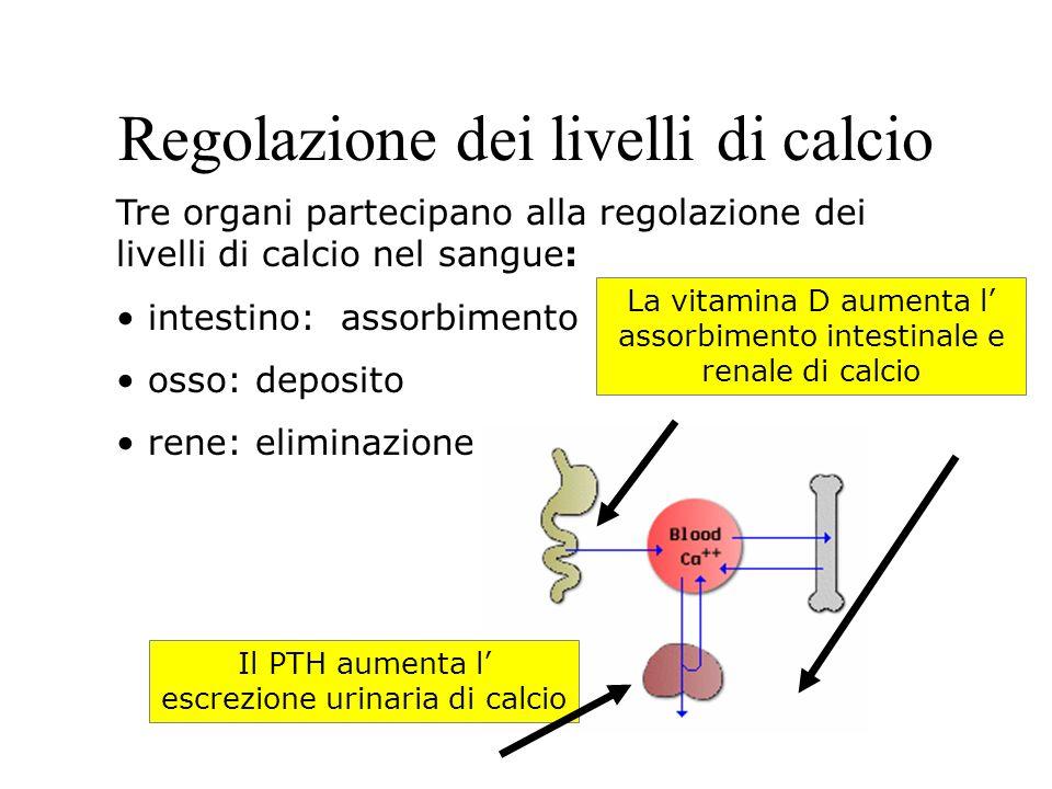 Regolazione dei livelli di calcio Tre organi partecipano alla regolazione dei livelli di calcio nel sangue: intestino: assorbimento osso: deposito rene: eliminazione La vitamina D aumenta l assorbimento intestinale e renale di calcio Il PTH aumenta l escrezione urinaria di calcio