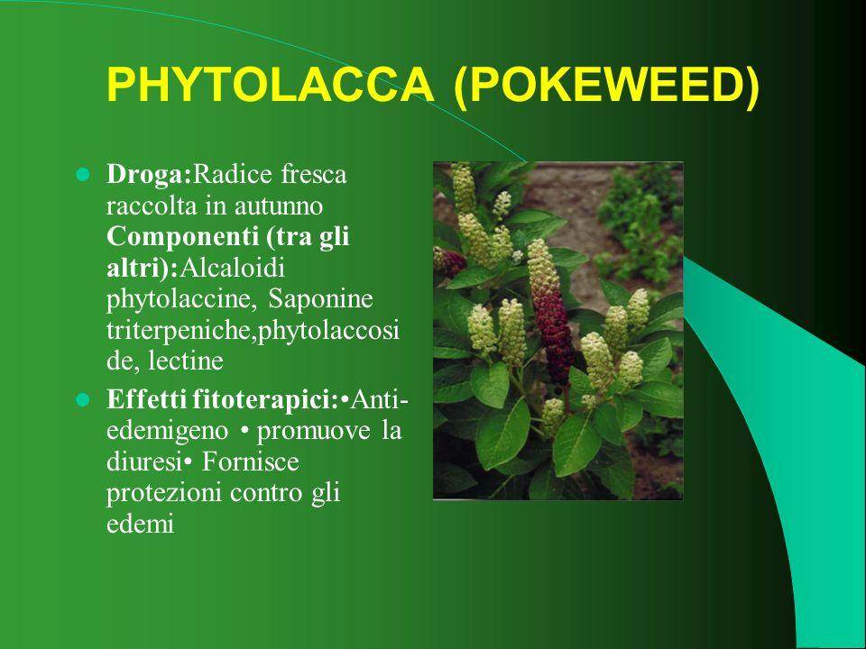 PHYTOLACCA (POKEWEED) Droga:Radice fresca raccolta in autunno Componenti (tra gli altri):Alcaloidi phytolaccine, Saponine triterpeniche,phytolaccosi d