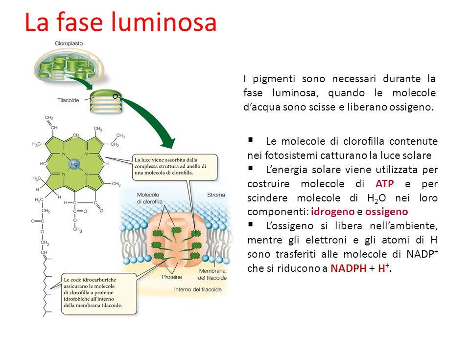 La fase luminosa I pigmenti sono necessari durante la fase luminosa, quando le molecole dacqua sono scisse e liberano ossigeno. Le molecole di clorofi