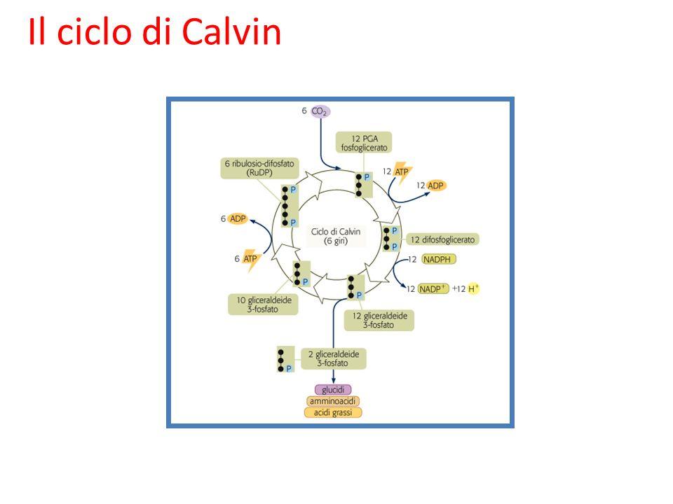 Il ciclo di Calvin