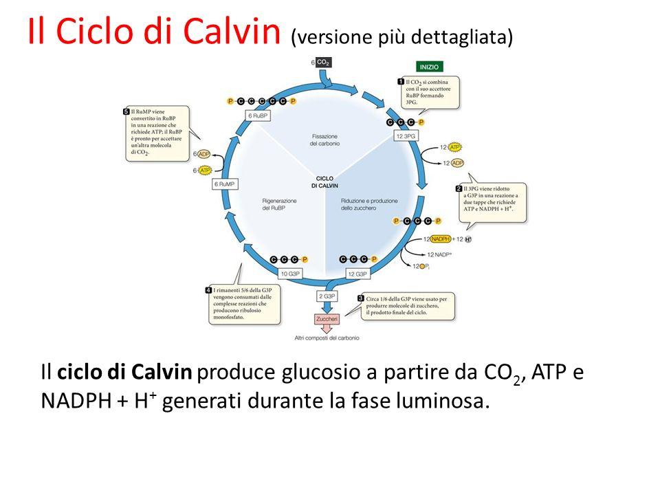 Il ciclo di Calvin produce glucosio a partire da CO 2, ATP e NADPH + H + generati durante la fase luminosa. Il Ciclo di Calvin (versione più dettaglia
