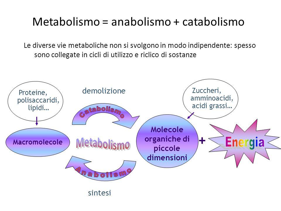 Metabolismo = anabolismo + catabolismo Le diverse vie metaboliche non si svolgono in modo indipendente: spesso sono collegate in cicli di utilizzo e r