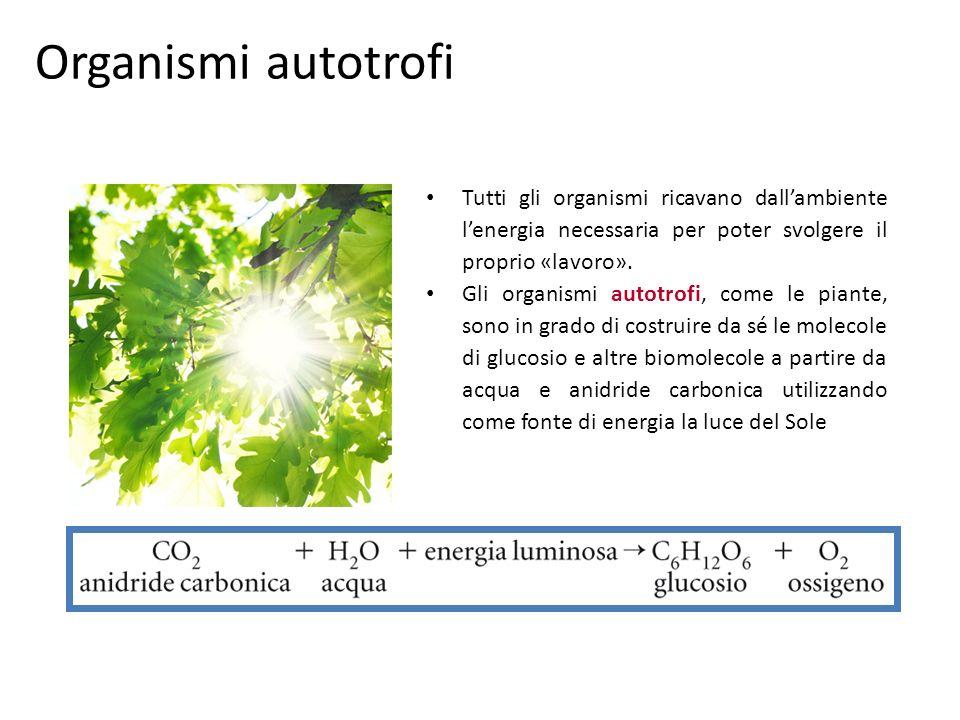 Organismi eterotrofi Gli organismi eterotrofi, come gli animali, prelevano dallambiente molecole organiche complesse già sintetizzate.