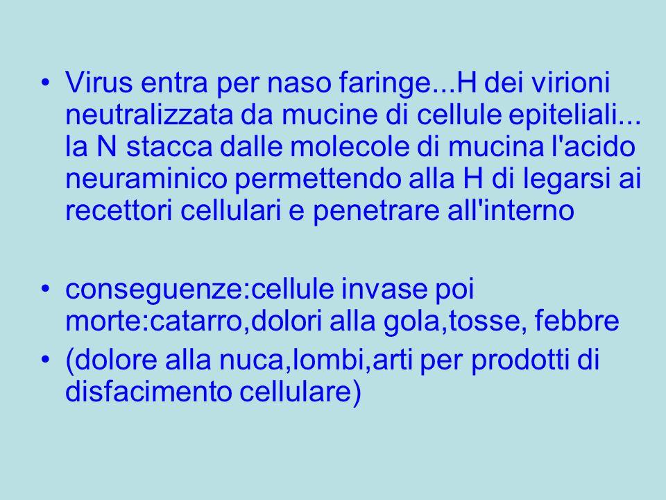 Virus entra per naso faringe...H dei virioni neutralizzata da mucine di cellule epiteliali...
