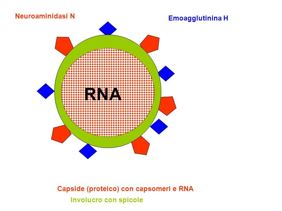 Emoagglutinina H Neuroaminidasi N RNA Capside (proteico) con capsomeri e RNA Involucro con spicole