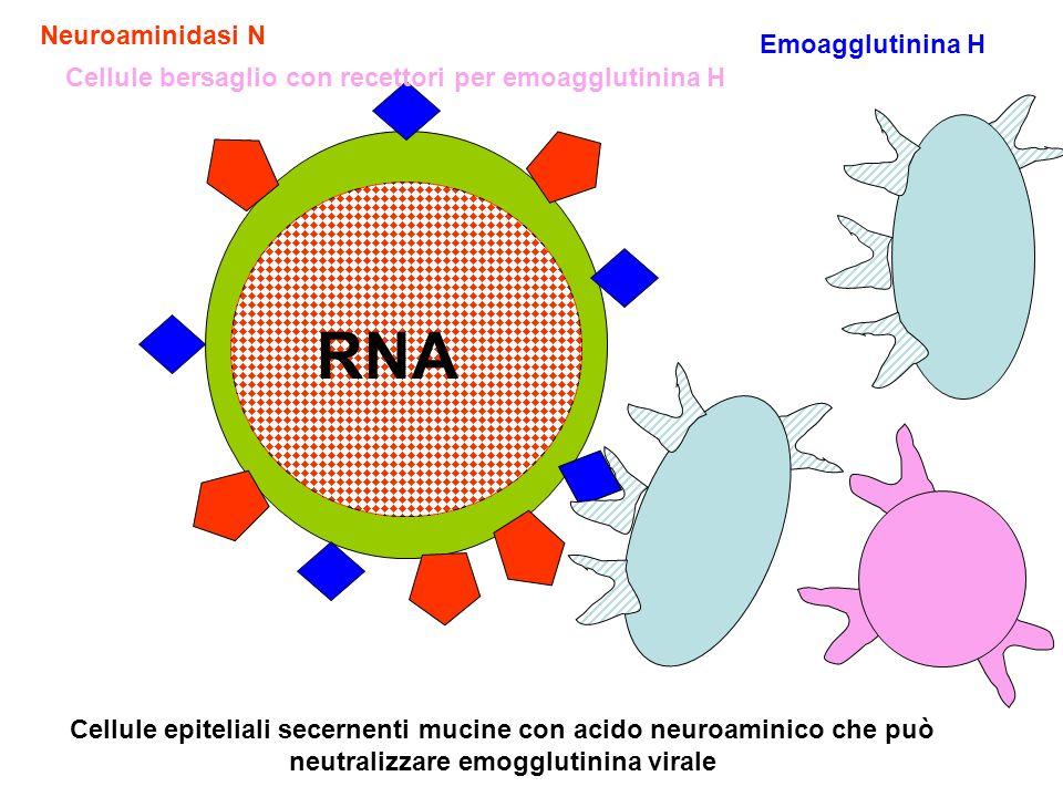 Emoagglutinina H Neuroaminidasi N RNA Cellule epiteliali secernenti mucine con acido neuroaminico che può neutralizzare emogglutinina virale Cellule bersaglio con recettori per emoagglutinina H
