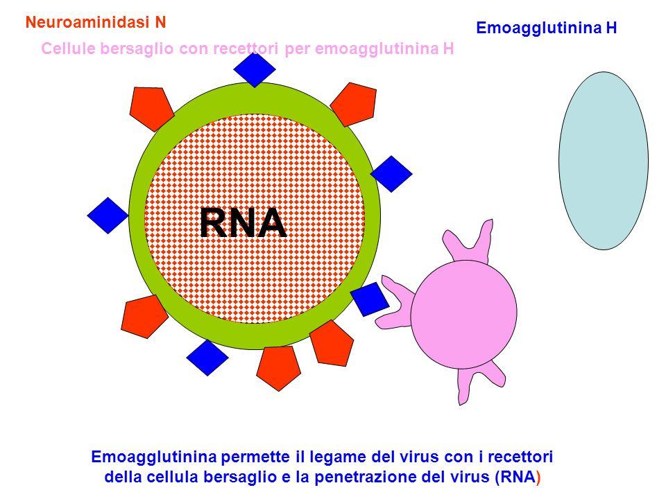 Emoagglutinina H Neuroaminidasi N RNA Cellule bersaglio con recettori per emoagglutinina H Emoagglutinina permette il legame del virus con i recettori della cellula bersaglio e la penetrazione del virus (RNA)