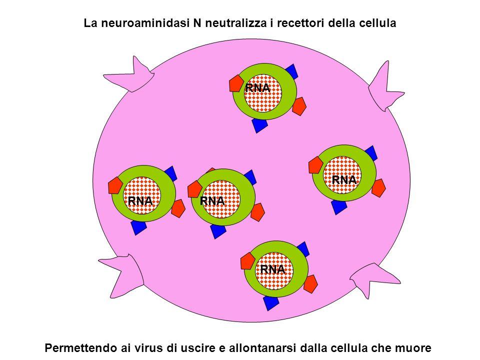 La neuroaminidasi N neutralizza i recettori della cellula RNA Permettendo ai virus di uscire e allontanarsi dalla cellula che muore