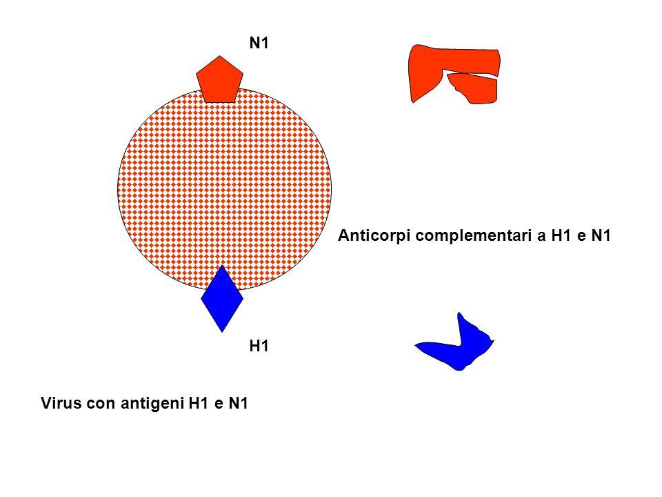 N1 H1 Virus con antigeni H1 e N1 Anticorpi complementari a H1 e N1