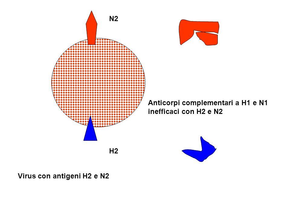 N2 H2 Virus con antigeni H2 e N2 Anticorpi complementari a H1 e N1 inefficaci con H2 e N2