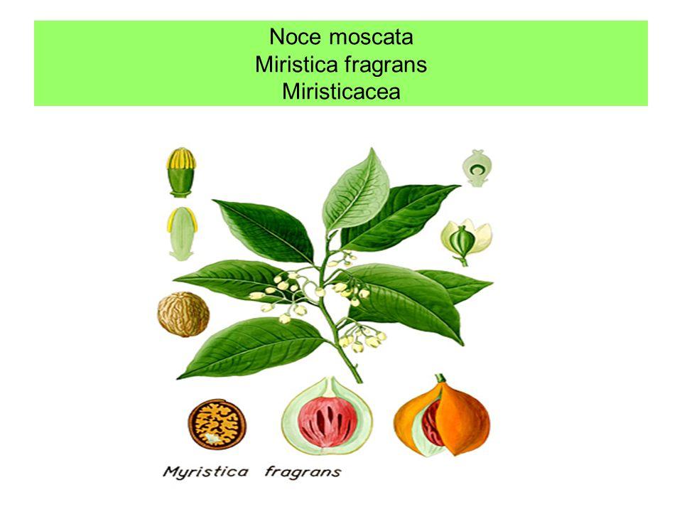 Pepe Si tratta di alberi tropicali che danno il pepe nero bianco e lungo e le foglie che in oriente si masticano insieme ad altri ingredienti nel bete