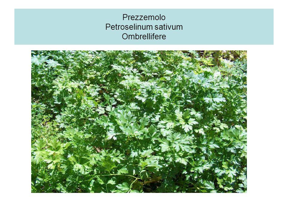 Zenzero Parti utilizzate: radice ed essenza ottenuta dalla distillazione della radice Proprietà: uso orale: aperitivo, stomachico, carminativo, stimol