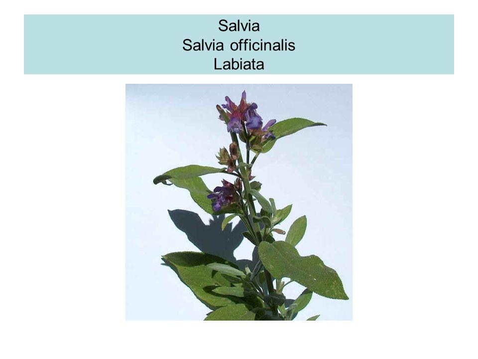 Basilico Esistono circa 150 varietà di basilico, originario dellAsia Parti utilizzate : cime fiorite ed essenza ottenuta dalla distillazione al vapore
