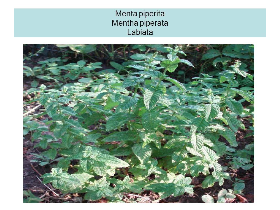 Timo Il timo è una delle piante aromatiche più utilizzate in terapeutica fin dai tempi più antichi (medici egiziani, etruschi, greci, romani,;Dioscori
