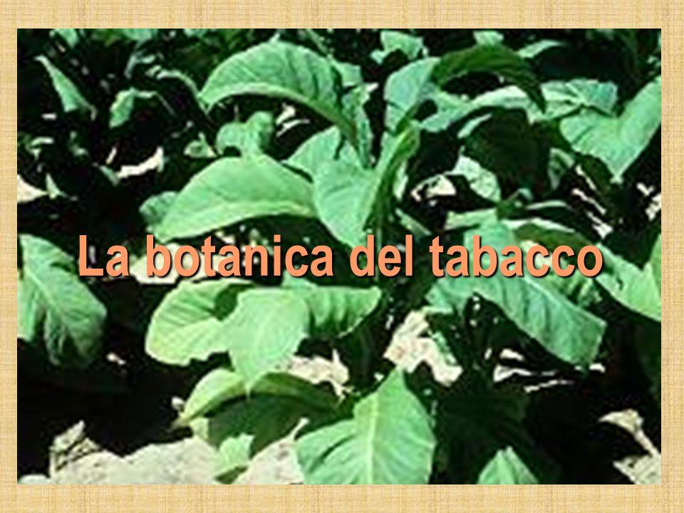 Tabacco: Nome comune di due specie di piante erbacee classificate nel genere Nicotiana, della famiglia delle Solanacee (come la melanzana, il peperoncino, la patata e il pomodoro); ampiamente coltivate per le loro foglie che, una volta essiccate e opportunamente trattate, possono essere fumate, masticate o fiutate.