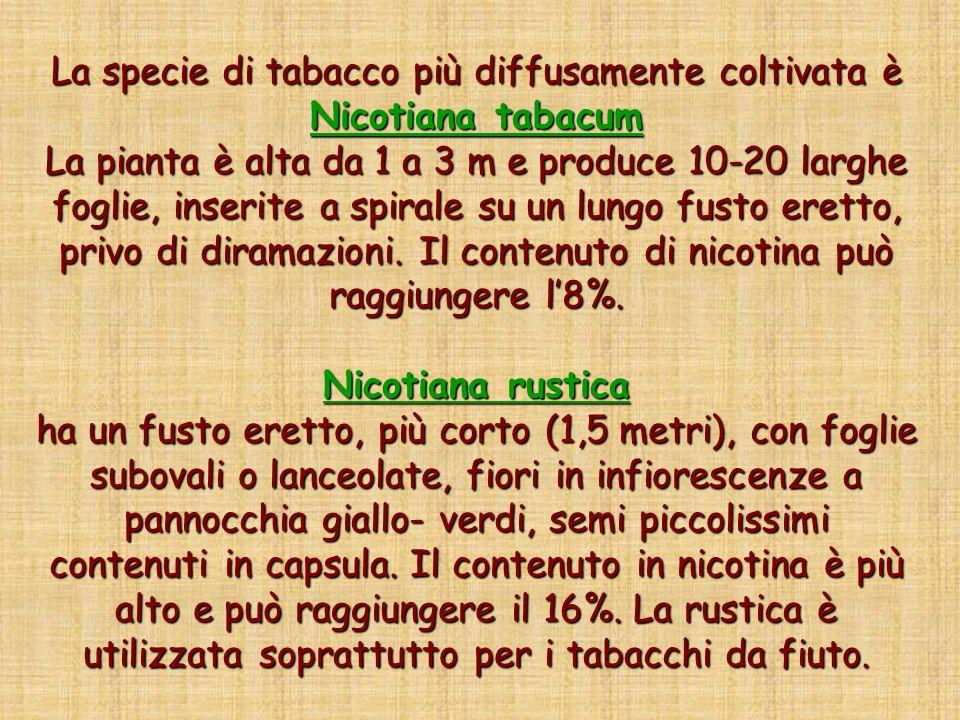 La specie di tabacco più diffusamente coltivata è Nicotiana tabacum La pianta è alta da 1 a 3 m e produce 10-20 larghe foglie, inserite a spirale su u
