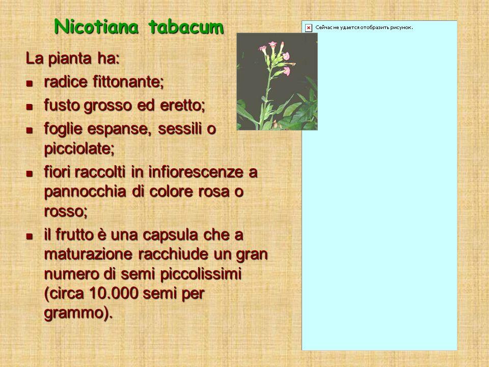La pianta ha: radice fittonante; radice fittonante; fusto grosso ed eretto; fusto grosso ed eretto; foglie espanse, sessili o picciolate; foglie espan
