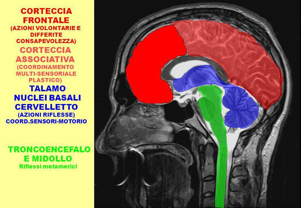 TALAMO NUCLEI BASALI CERVELLETTO (AZIONI RIFLESSE) COORD.SENSORI-MOTORIO CORTECCIA ASSOCIATIVA (COORDINAMENTO MULTI-SENSORIALE PLASTICO) TRONCOENCEFAL