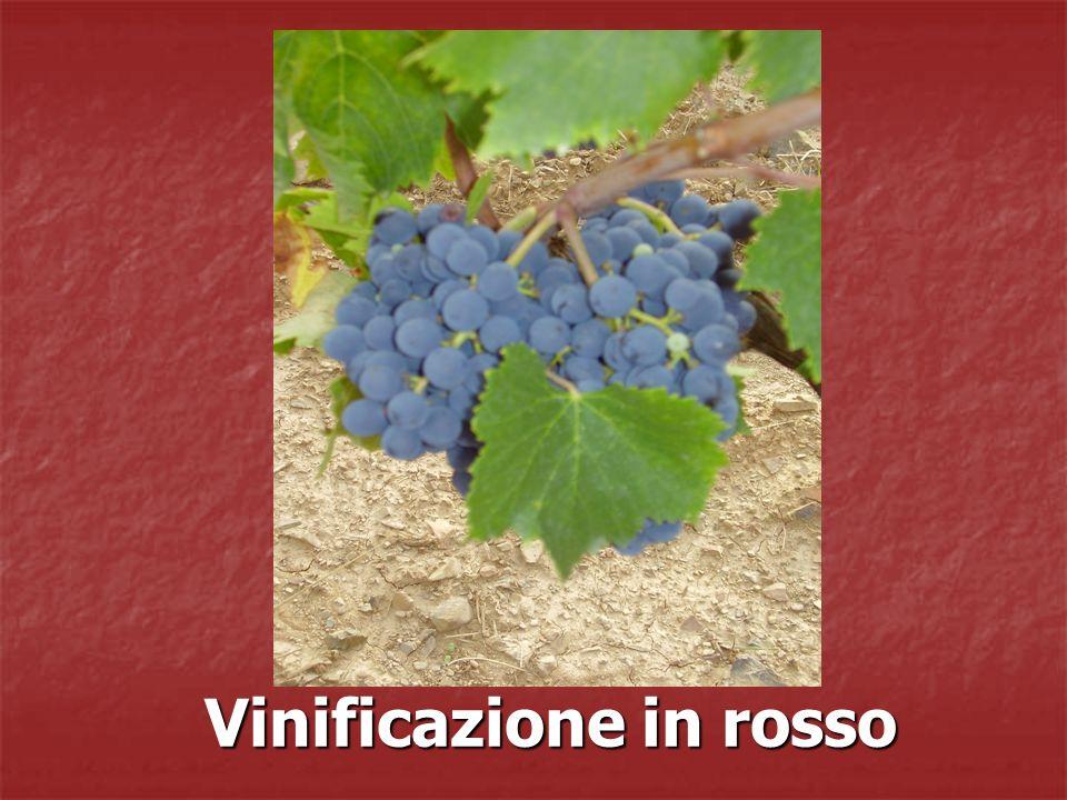 La vinificazione è: Un processo costituito da numerose fasi in cui, grazie a pratiche di cantina, il mosto, aggressivo e acido, subisce un processo di trasformazione alla fine del quale si ottiene il vino, rotondo e strutturato.